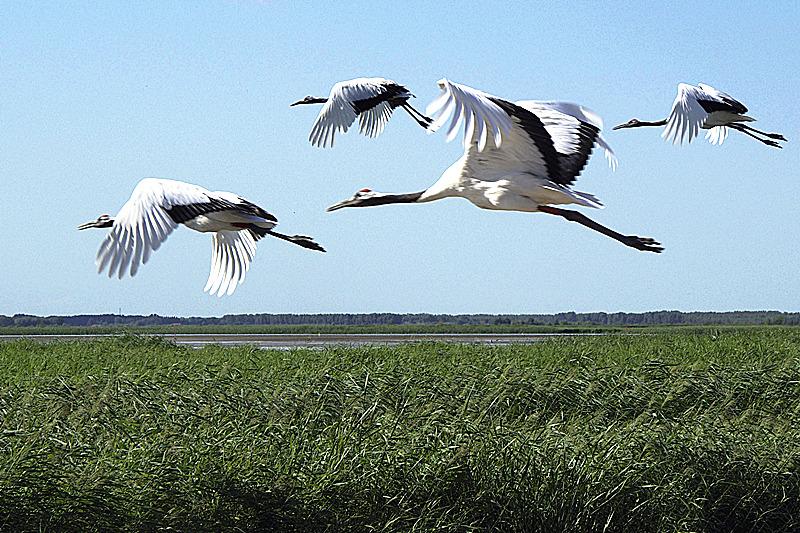 面积达21万公顷,是世界上最大的驯养,散放,不迁徒的丹顶鹤群落,每年5